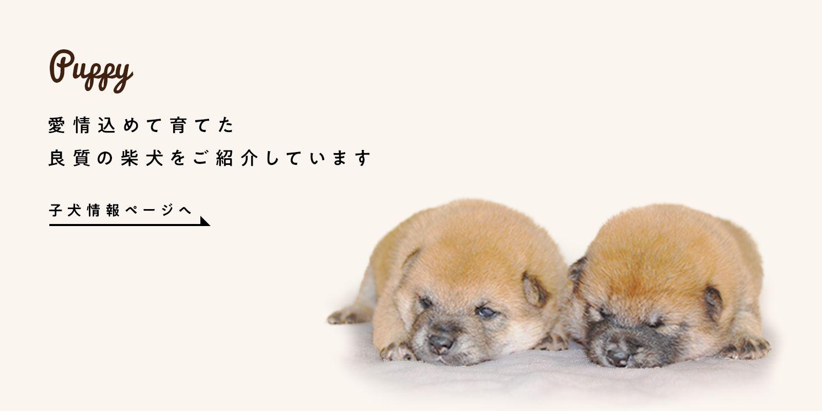 柴犬の子犬情報