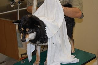柴犬をタオルで乾かす