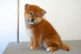 shiba_tri_puppy5(6)