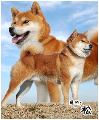 父親犬・松